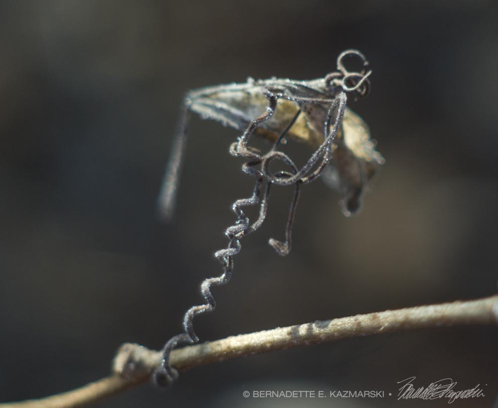 Flying Frosted: A vine tendril clasping a few dry leaves, and it looks like an exotic flying machine.