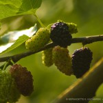 Morning Mulberries