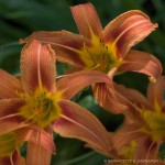 Three Daylilies