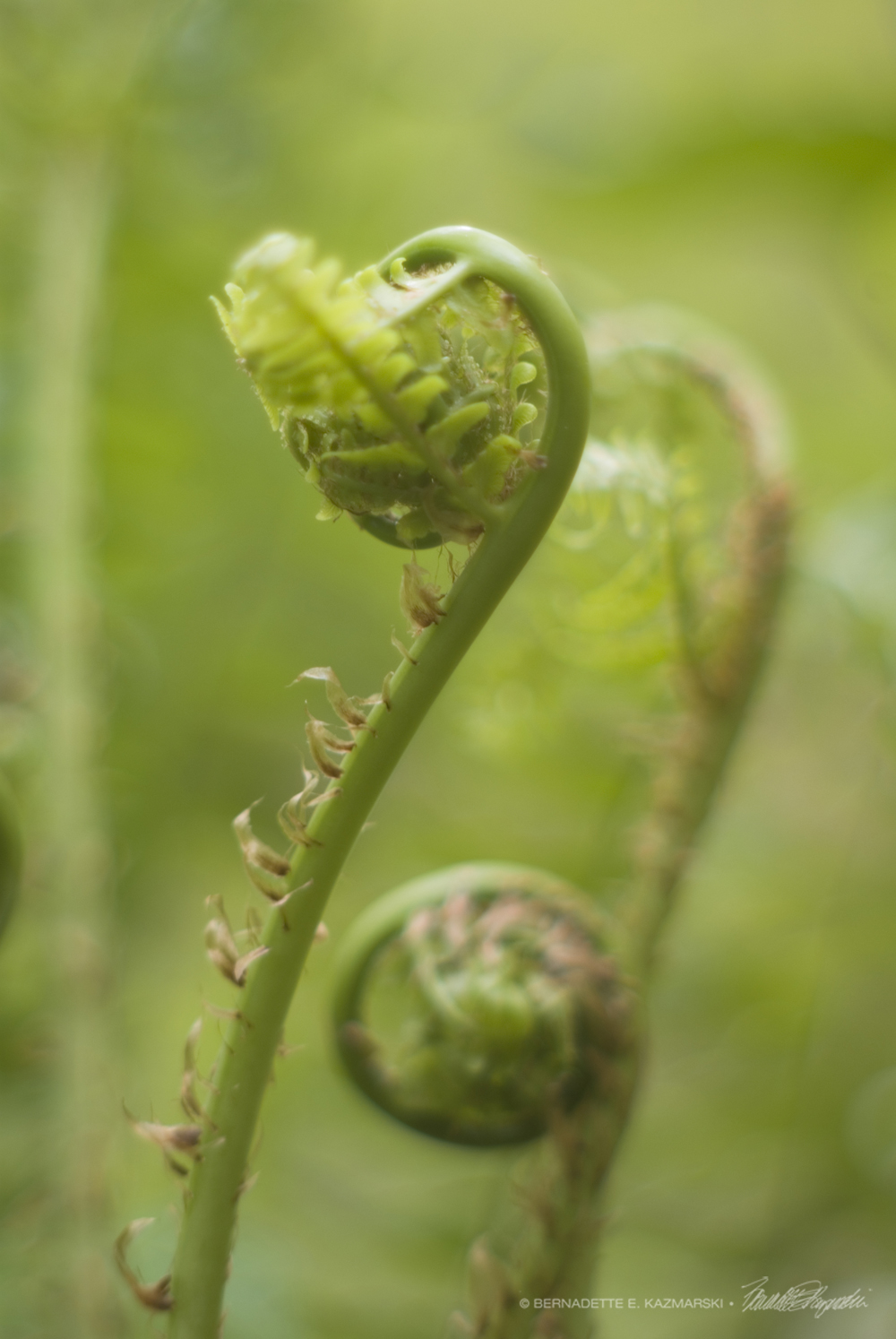 Lime Fiddleheads