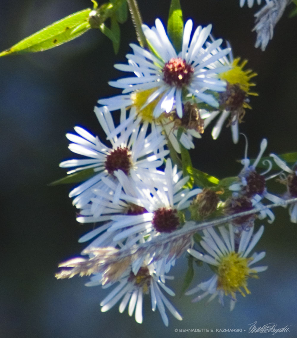 Many-flowered Asters blooming.