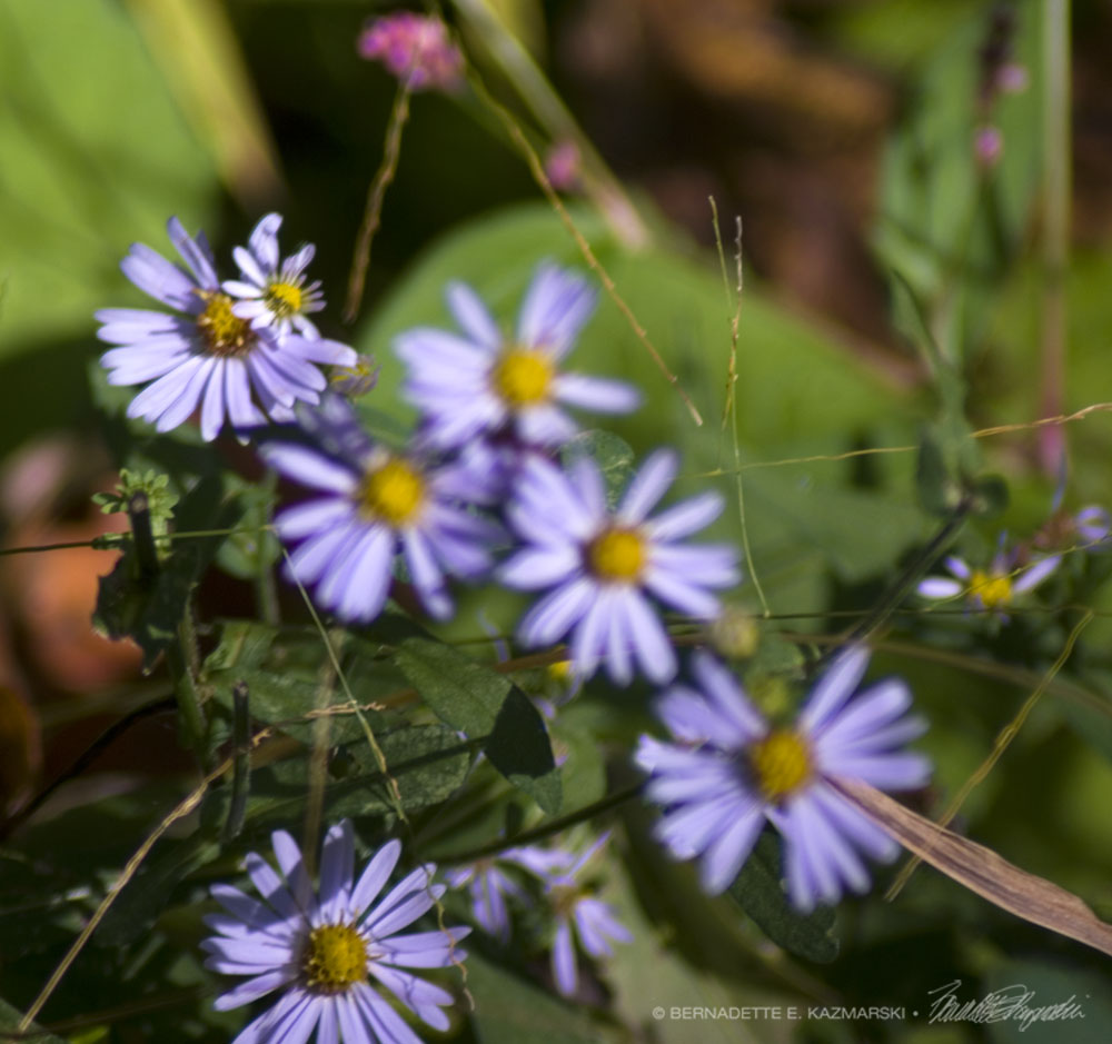 Purple asters at the edge of the woods with just a touch of pink smartweed.