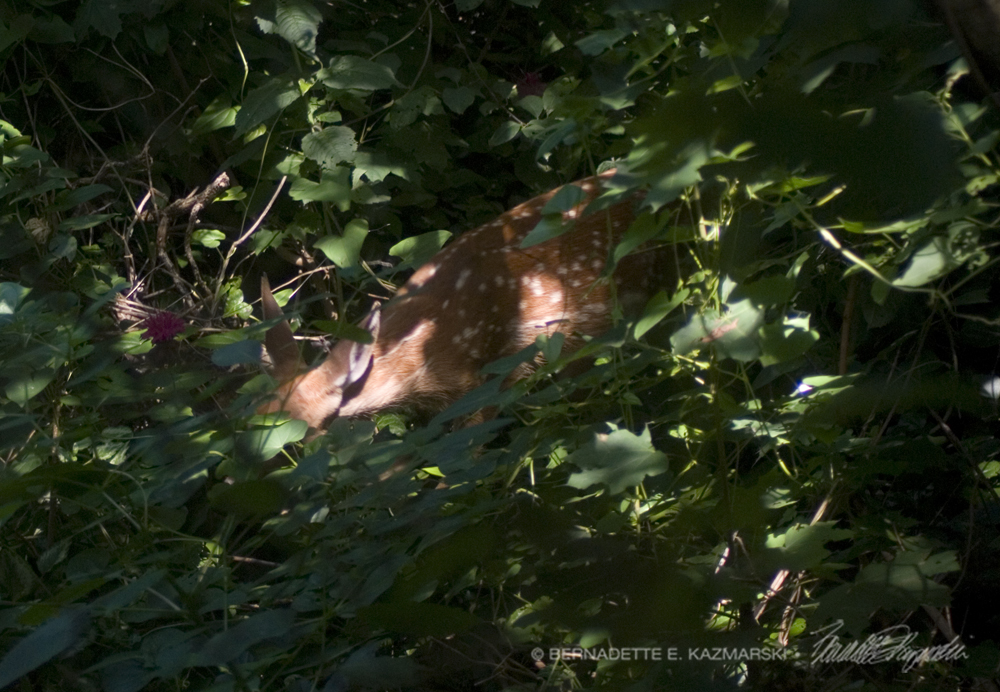 The little fawn is tangled in the bindweed vines.