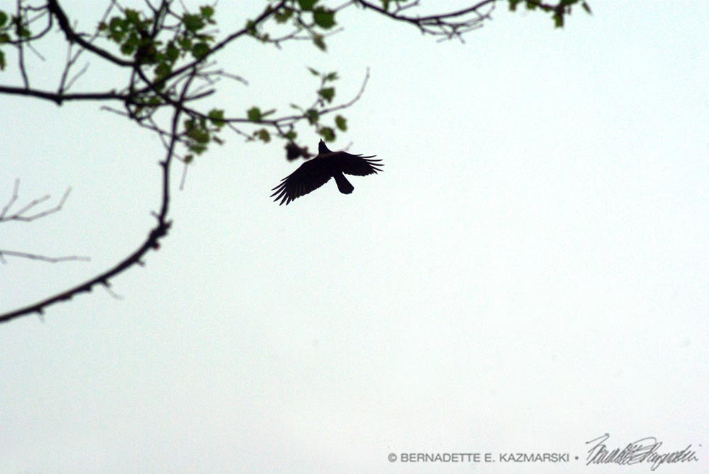 Crow and Branch