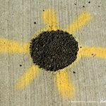 Sidewalk Sunflower