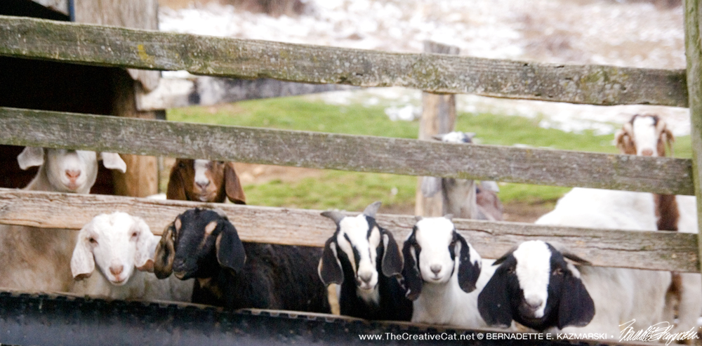 Interested Goats.