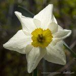 Special Daffodil