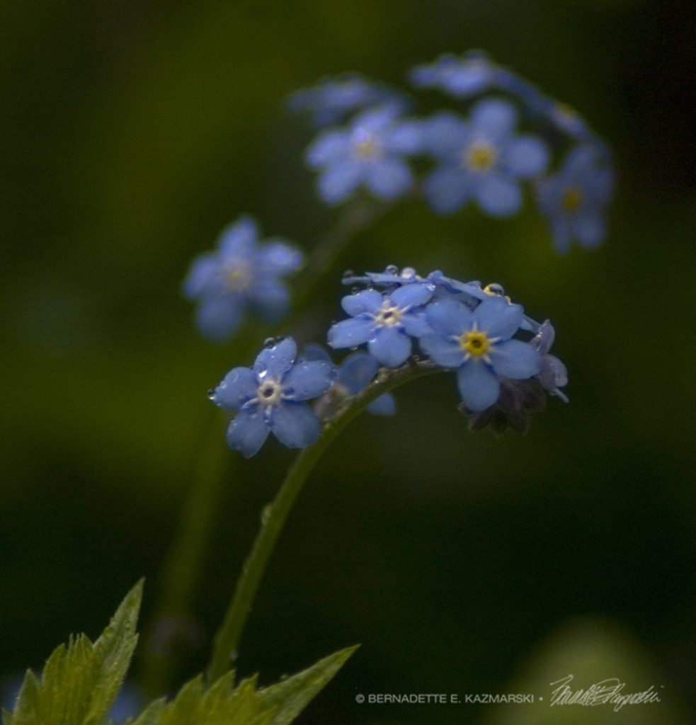 Forget-me-nots in the Rain
