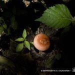 Rec cap mushroom