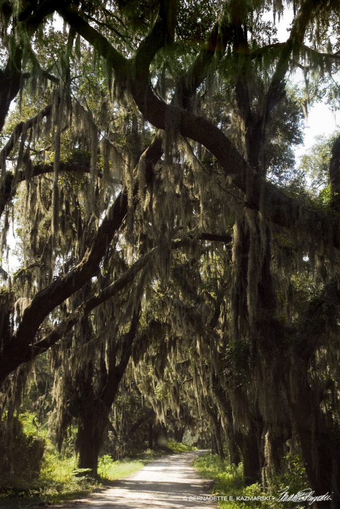 Live Oaks and Spanish Moss