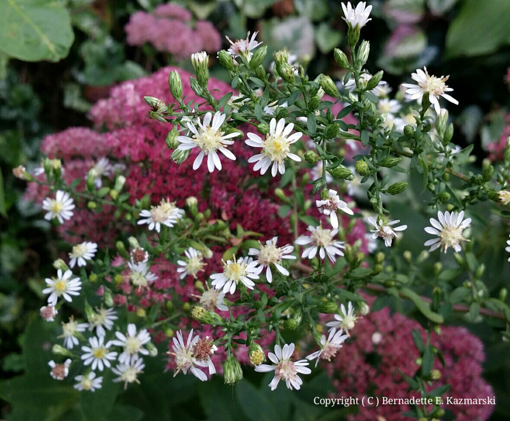 Calico asters