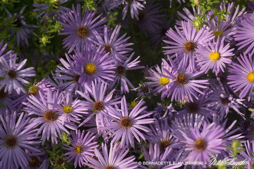 More asters.