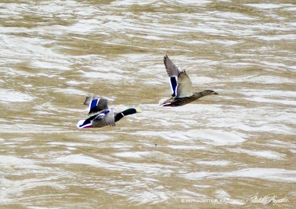 Ducks in flight.