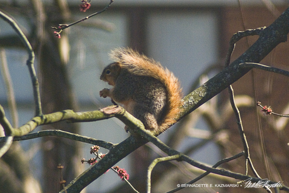 Squirrel singing along with his tunes.