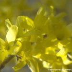 Bunch of forsythia.