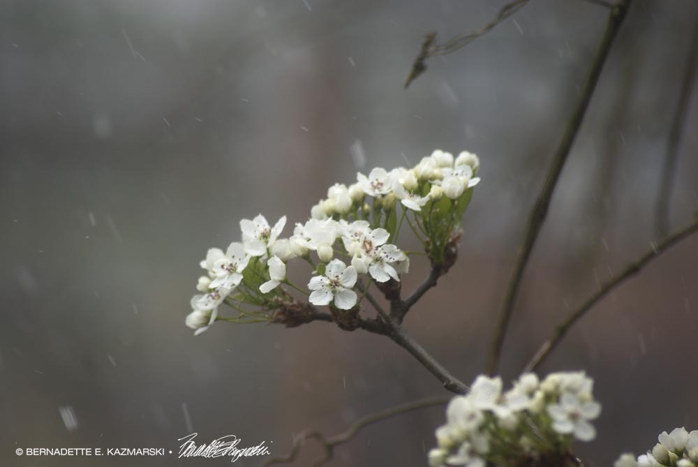 Snow falling all around the blossoms.