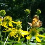 Silvery Checkerspot on Wingstem