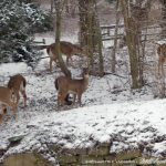 Six deer in the back yard.