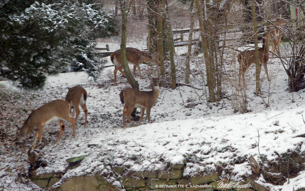 Six deer in the back yard.
