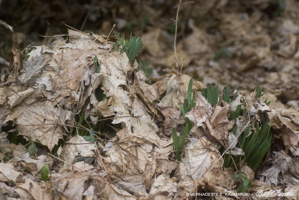 Undercover Daffodils