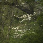 Dogwood in the Woods