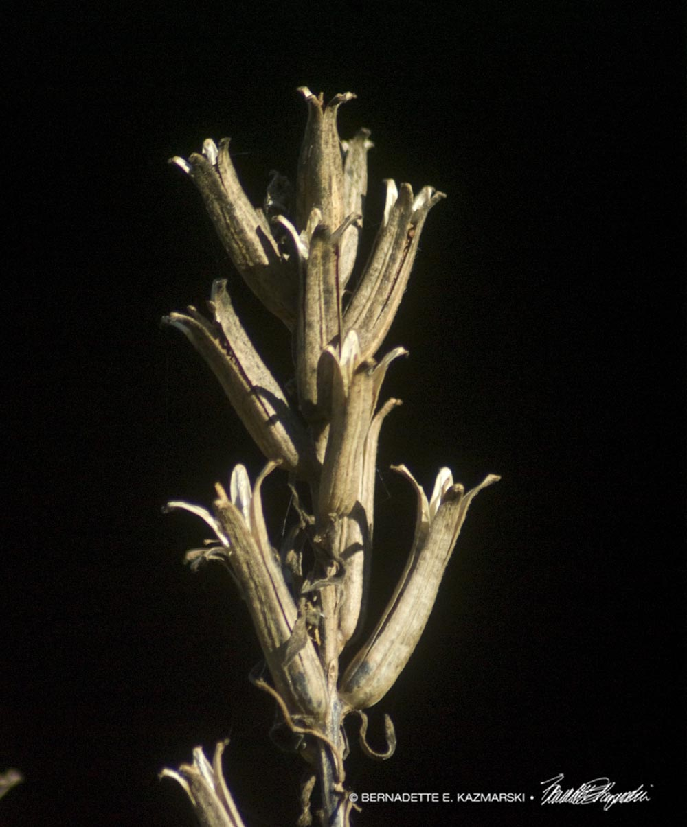 Winter ilies