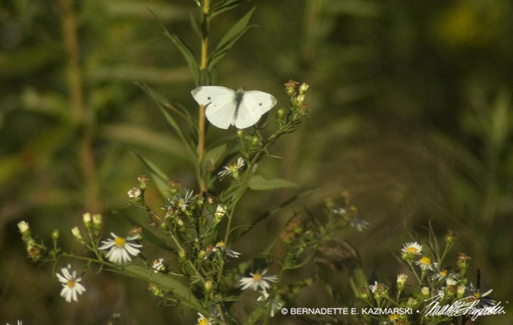 Male cabbage white butterfly.