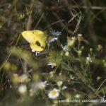 Male clouded sulphur butterfly
