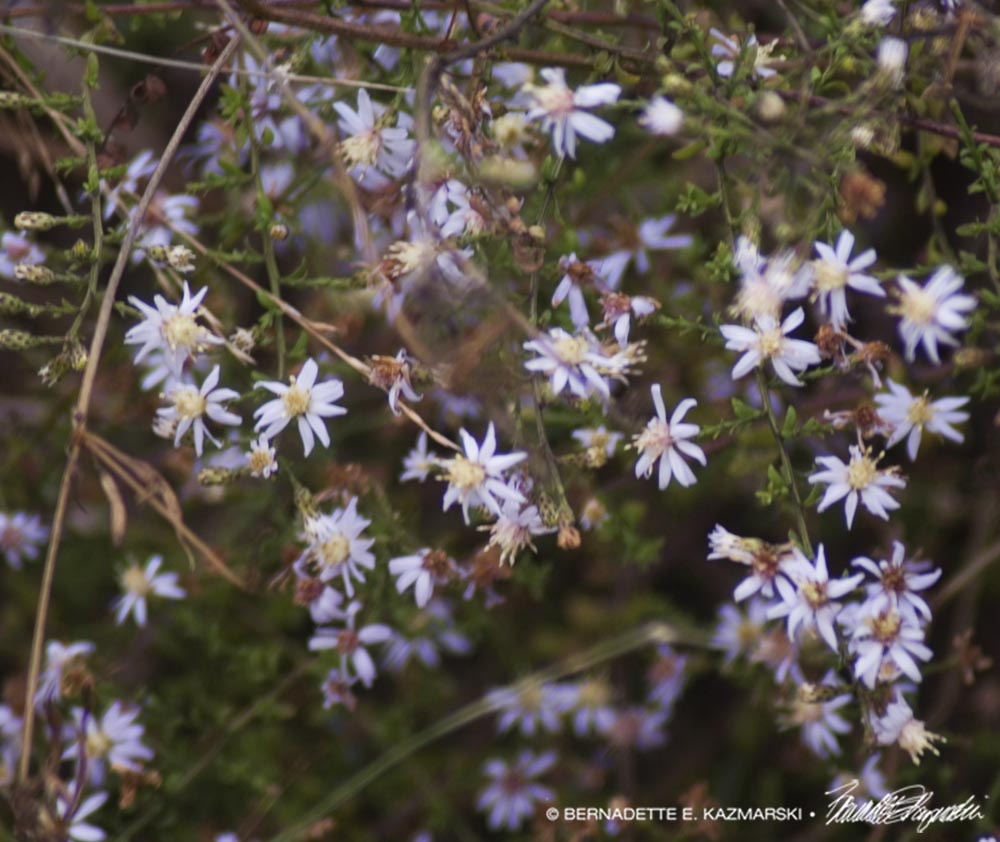 Blue wood asters