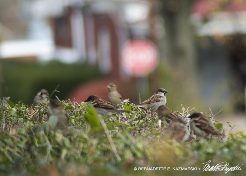 Sparrow Hedge