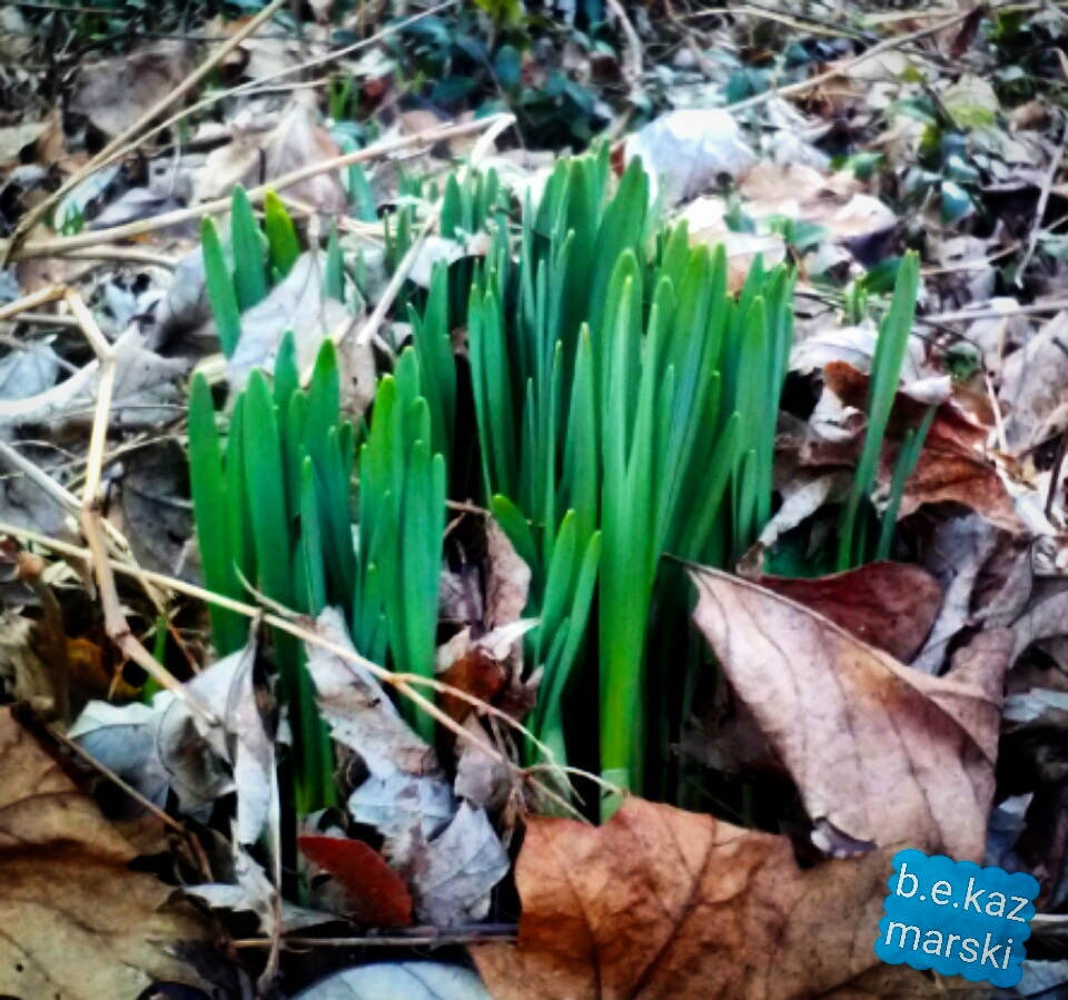 daffodils sprouting