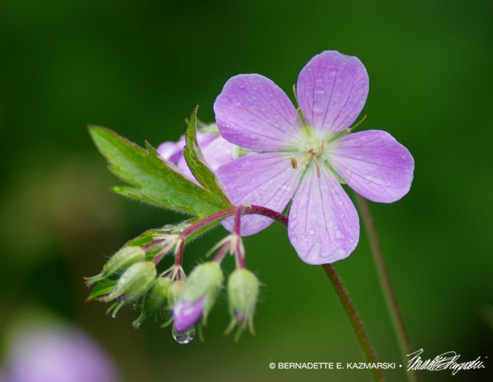 cranesbill flower with raindrops