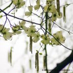 Dogwoods and Catkins