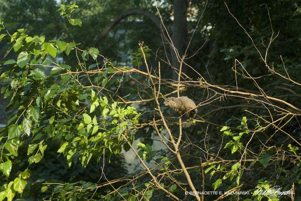 groundhog in tree