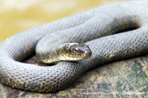closeup of water snake