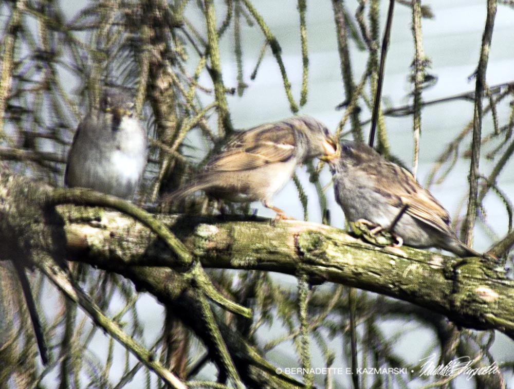 mother sparrow feeding babies on branch