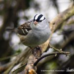 white-capped sparrow