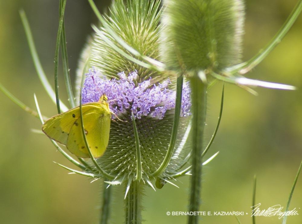 Clouded sulphur butterfly on teasel.