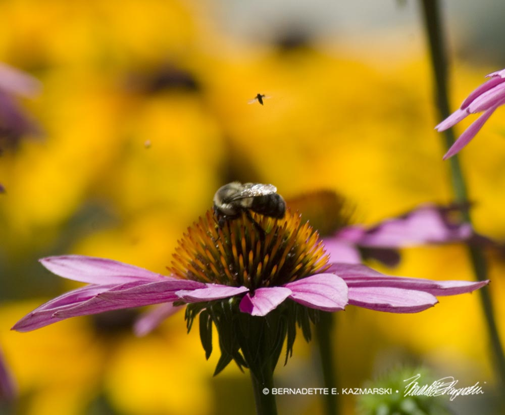 bees on echinacea