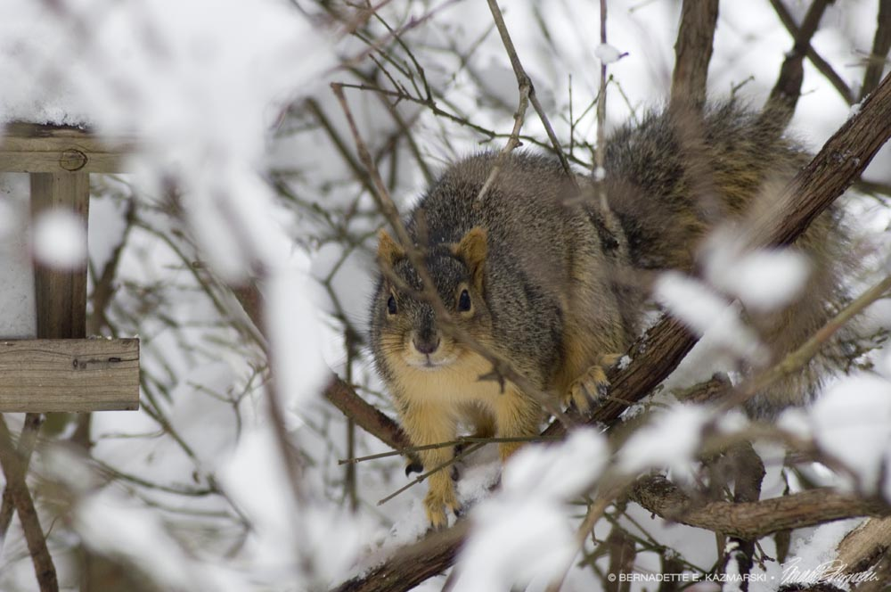 squirrel in snow by feeder