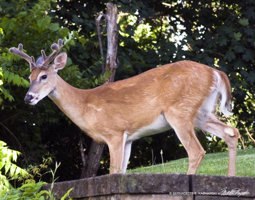 buck in yard