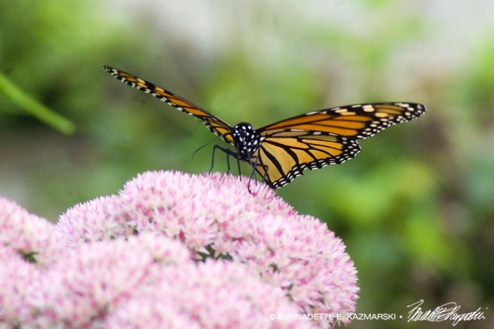 monarch on autumn jy sedum