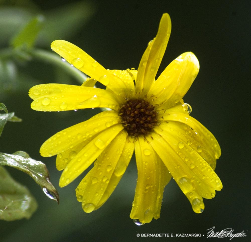 calendula flower with raindrops