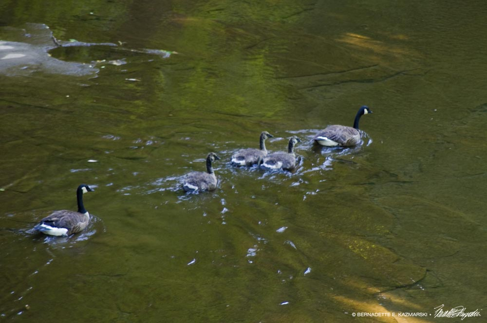 geese in shallow water
