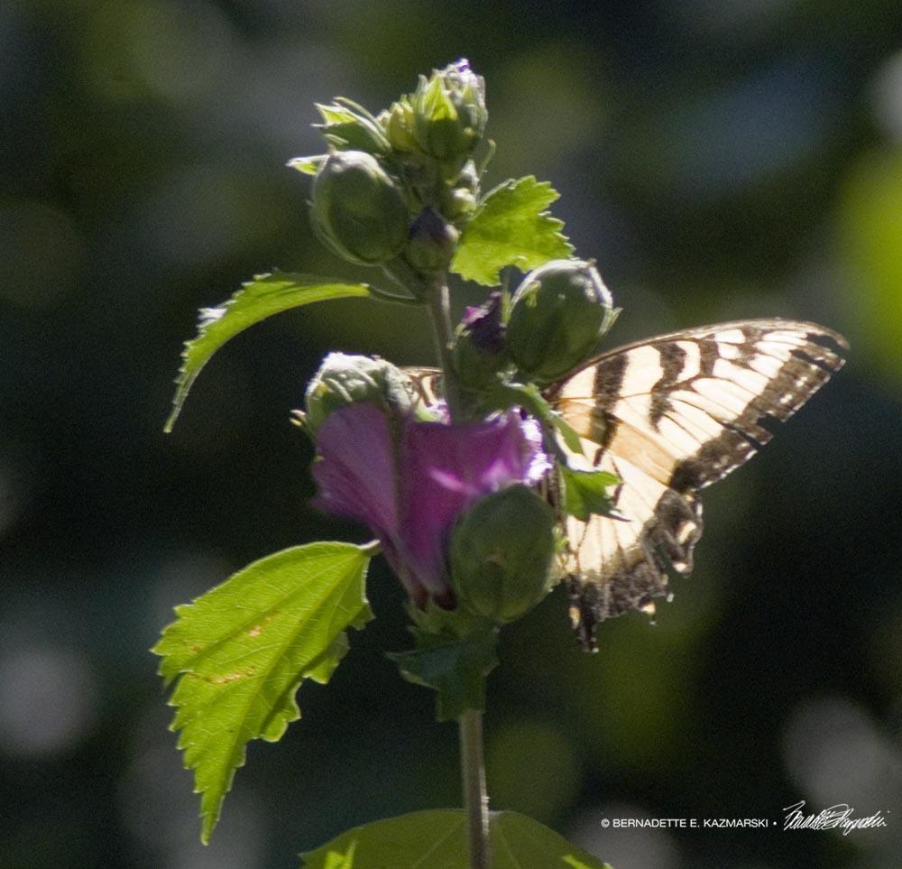 Tiger swallowtail.