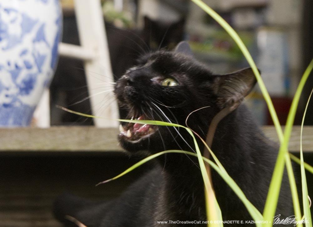 black cat eating lemongrass