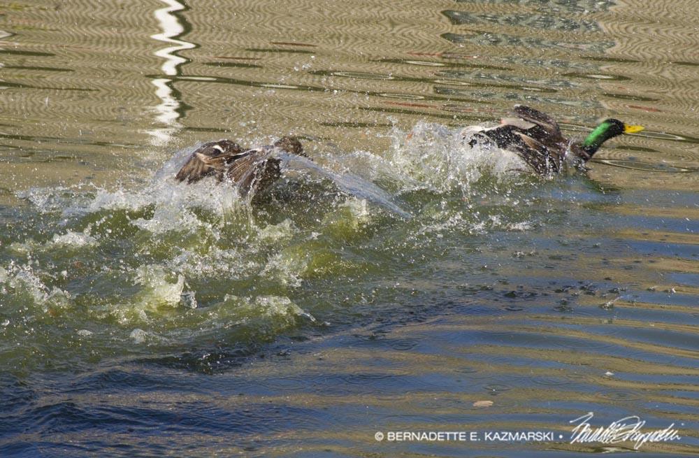 ducks chasing