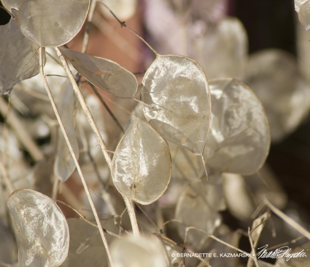 dried lunaria pods