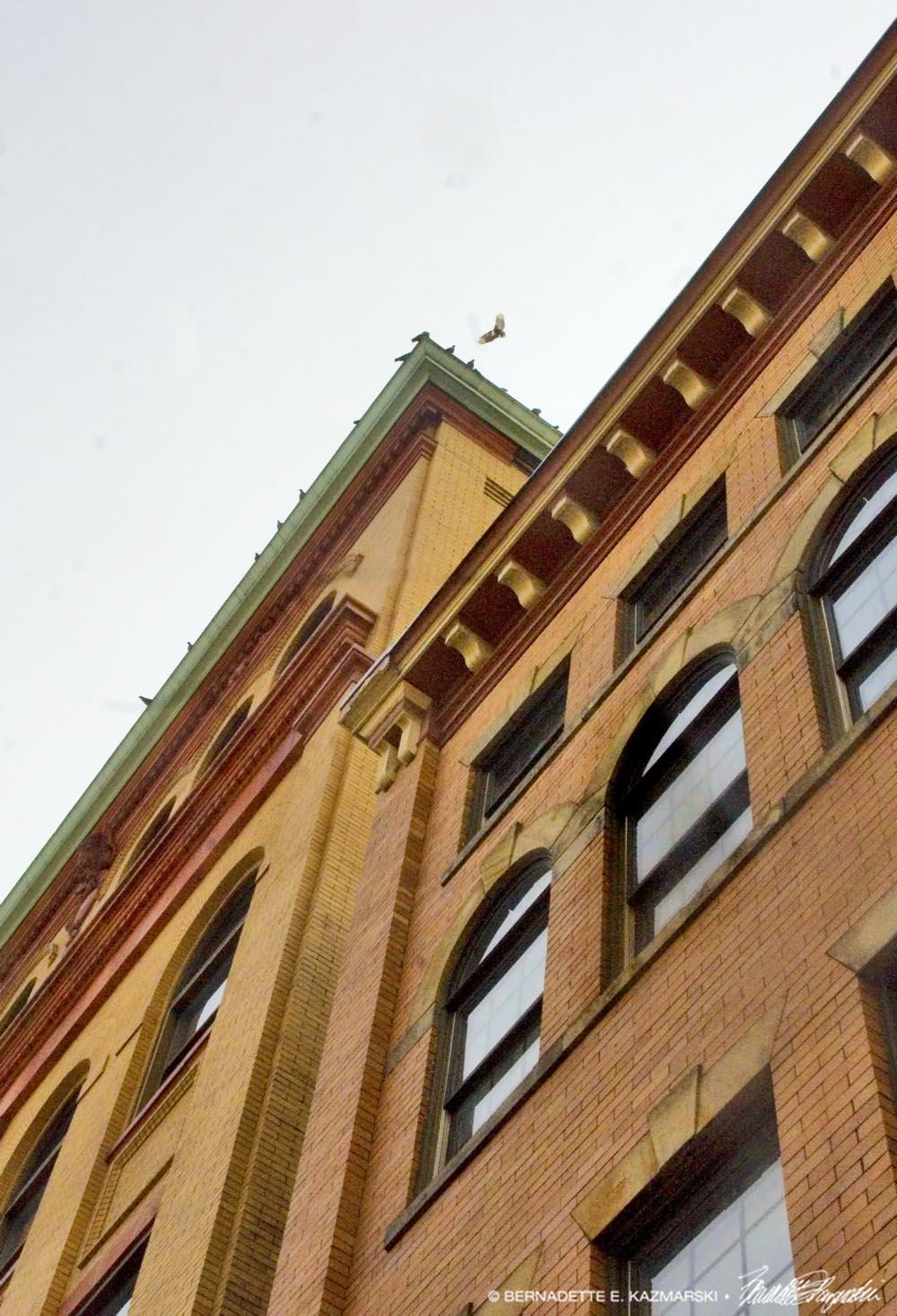 dove landing on building